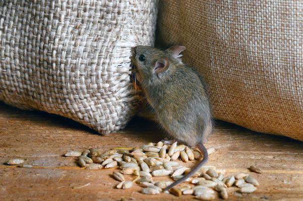 Уничтожение мышей и крыс в Алматы